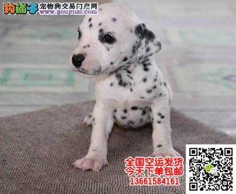斑点犬 纯种斑点狗 欢迎实地选购 完美售后 可签协议