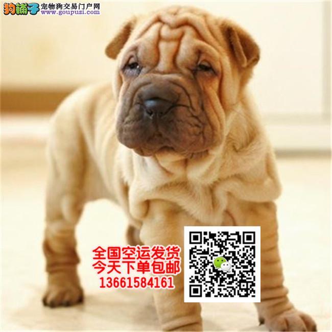 沙皮犬幼犬出售纯种赛级沙皮犬幼犬家养宠物狗狗沙皮