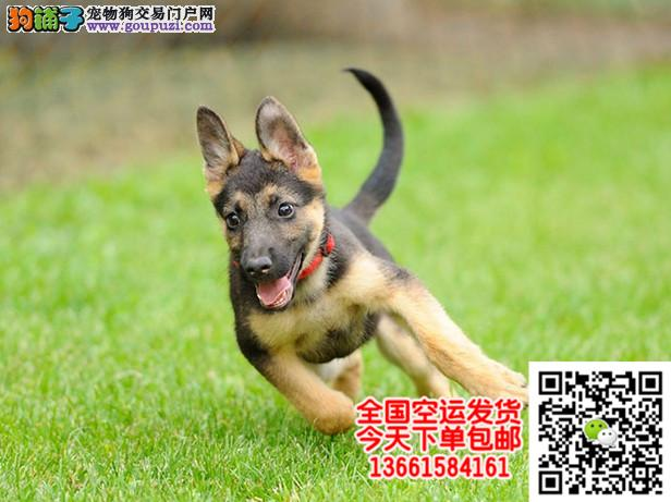 高品质狼狗带血统出售中 终身质保 质量三包 可签协议