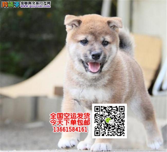 极品柴犬 优良柴犬血统纯种价格合理 欢迎来狗场选购