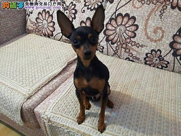 深圳哪里有小鹿犬出售 小鹿犬适合家养吗