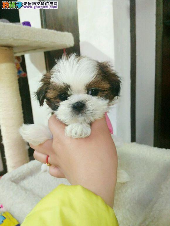 赛级西施犬幼犬 精心繁育品质优良 购犬可签协议