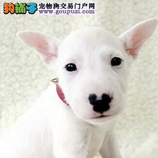 广州牛头梗犬 牛头梗犬多少钱 广州狗场 广州德利犬舍