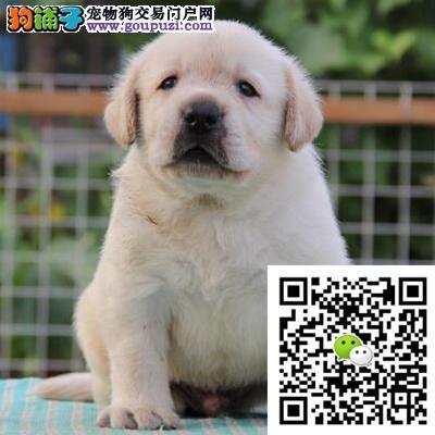 纯种拉布拉多幼犬出售疫苗齐全 包邮 可空运