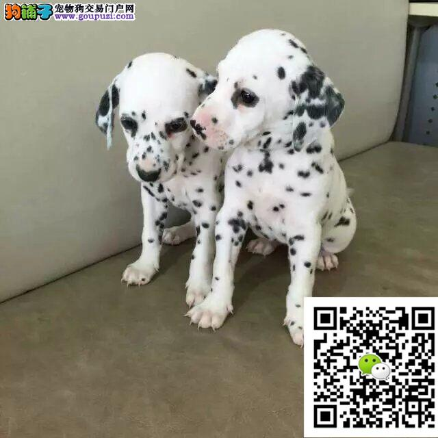 高品质斑点狗幼犬出售 疫苗齐全可空运