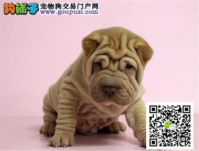 高品质沙皮幼犬出售疫苗齐全 同城送货上门