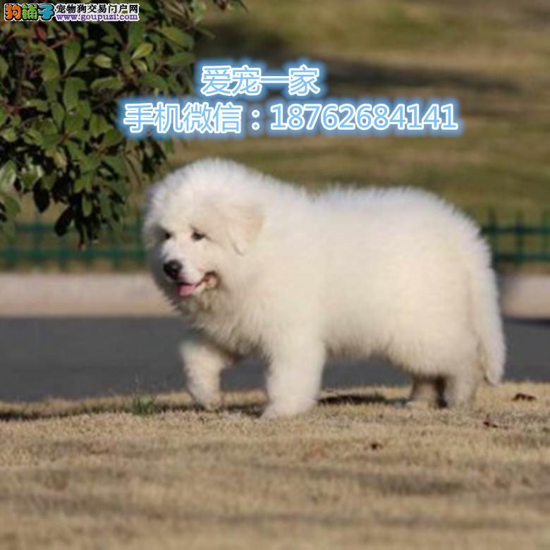 南京出售大白熊幼犬 骨骼大 毛质好 极品幼犬待售