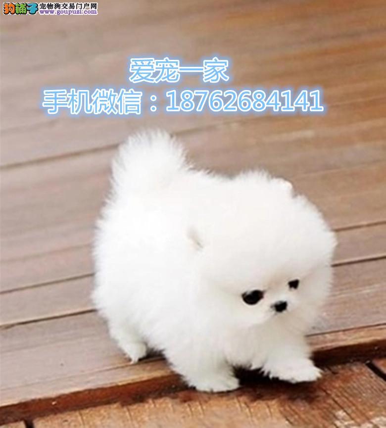 南京出售哈多利版博美 白色球体博美 纯种可爱博美出售