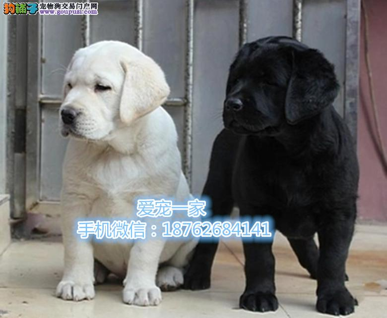 """南京出售神犬小七 """"拉布拉 健康养活不止一点点萌"""