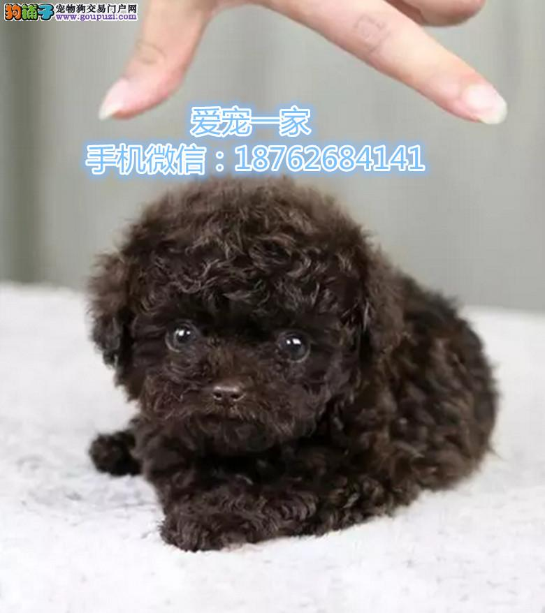 南京出售纯正泰迪宝宝 可爱萌犬 健康保障 育苗齐全