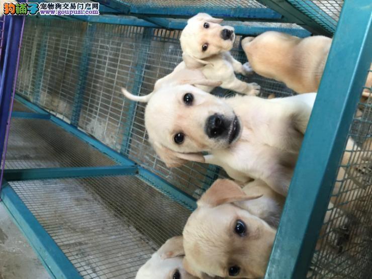 纯种拉布拉多幼犬价格