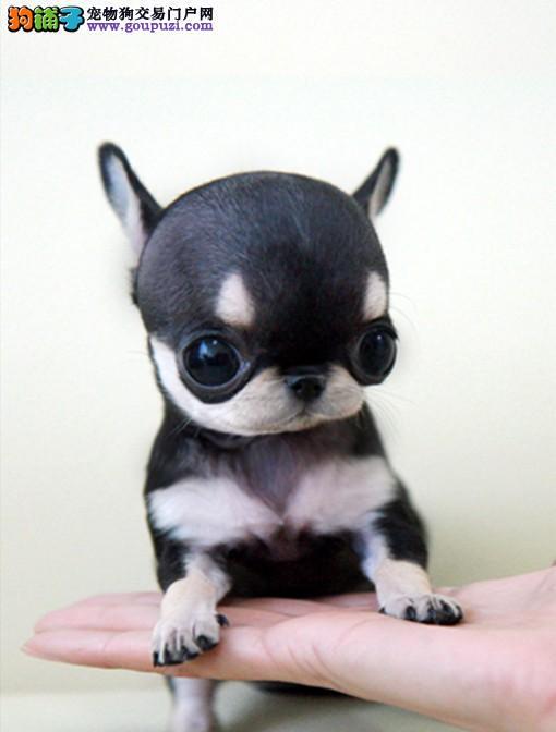 正规吉娃娃犬繁殖基地,品质信得过,售后有保证