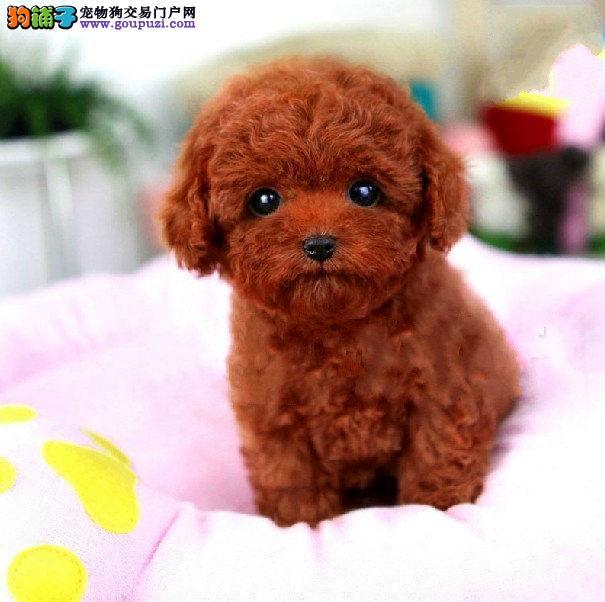 正规泰迪犬繁殖基地,品质信得过,售后有保证