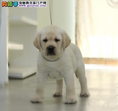 拉布拉多犬繁殖基地,品质信得过,售后有保证