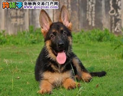 狼狗犬繁殖基地,品质信得过,售后有保证