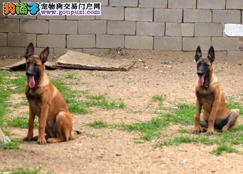 马犬找新家、自家繁殖保养活、三包终生协议