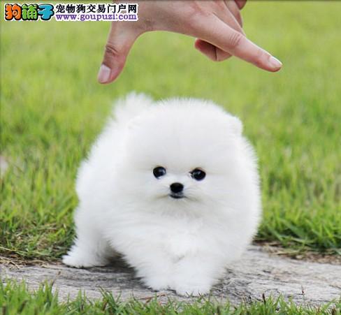 正规博美犬繁殖基地,品质信得过,售后有保证