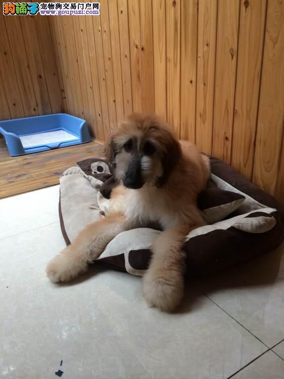 阿富汗犬繁殖基地,品质信得过,售后有保证