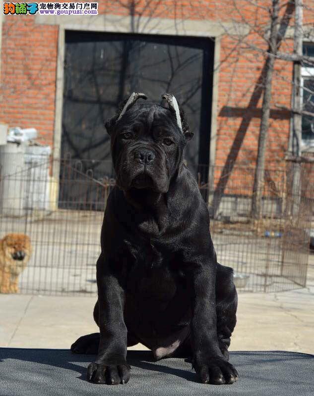 卡斯罗犬繁殖基地,品质信得过,售后有保证