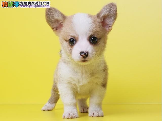 正规柯基犬繁殖基地,品质信得过,售后有保证