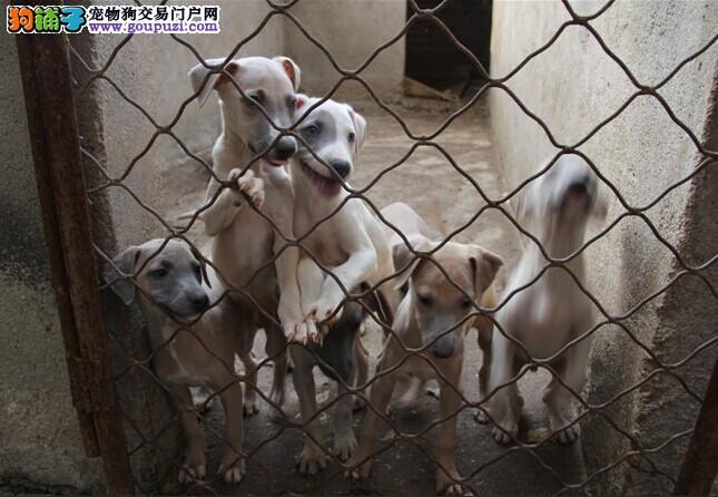 格力犬繁殖基地,品质信得过,售后有保证