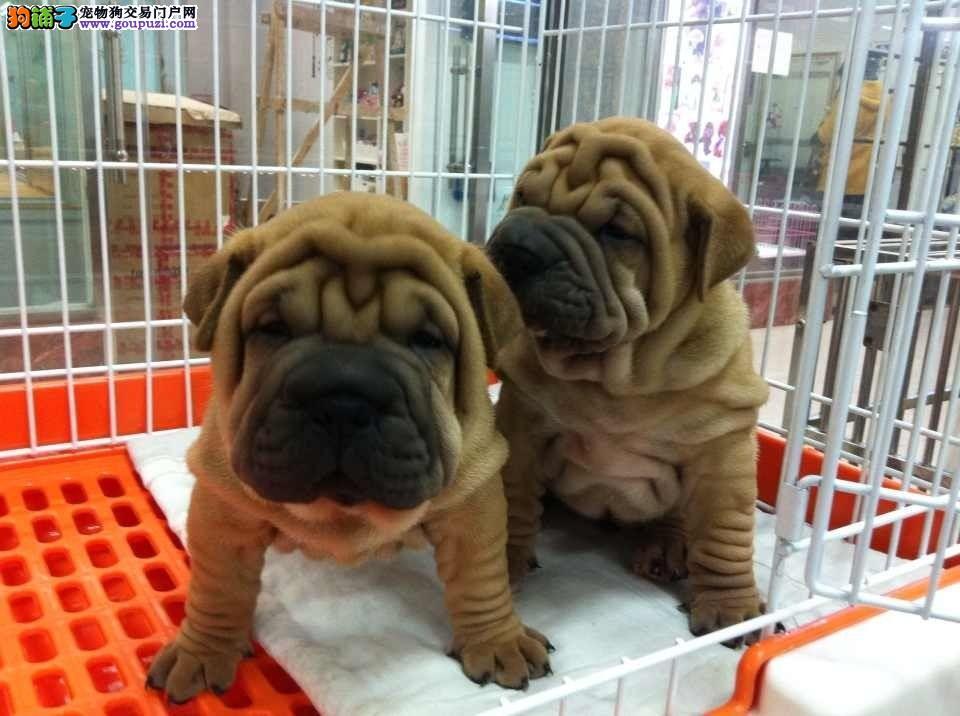 沙皮犬繁殖基地,品质信得过,售后有保证