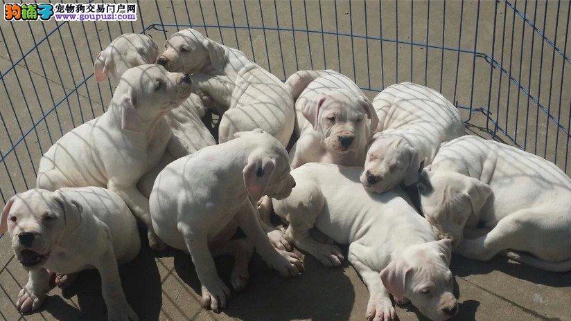 杜高犬繁殖基地,品质信得过,售后有保证