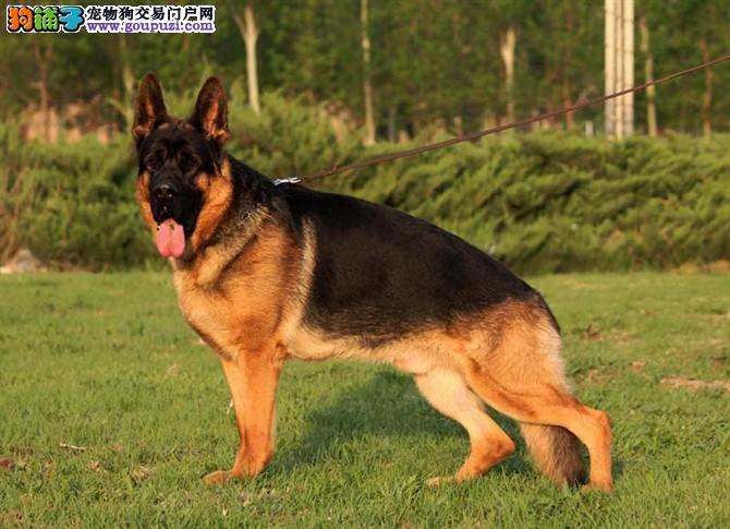 德牧犬繁殖基地,品质信得过,售后有保证