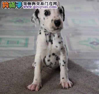 精品斑点犬 保纯保健康 疫苗和驱虫均已做完
