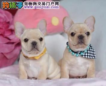 爱宠犬舍出售法国斗牛犬质量三包 可送货上门
