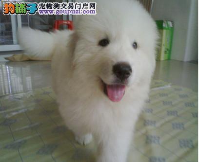纯种大白熊犬、保证纯种健康 、终身质保