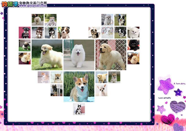 CKU认证犬舍 专业繁殖 博美幼犬 购买有保证