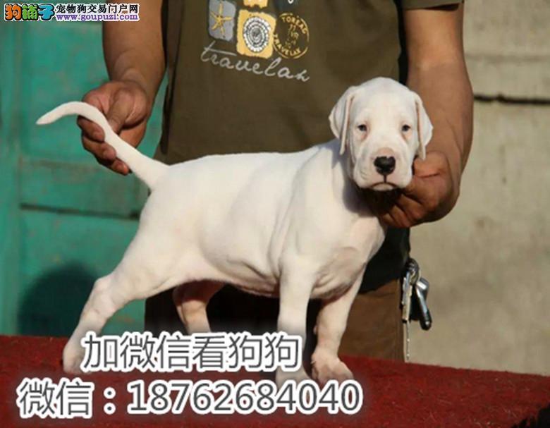 出售纯种杜高幼犬 健康保证 信誉保证 诚信保证