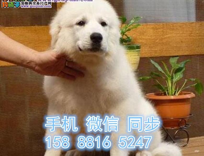 苏州犬舍直销健壮的体格 善良的内心大白熊犬