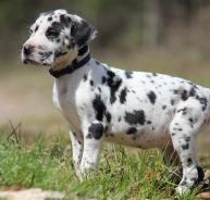 斑点狗 我们更专业、保健康、包纯种、签协议