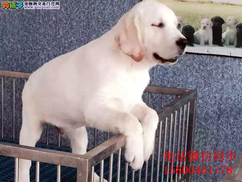 最佳伴侣犬纯种拉布拉多专业繁殖品质保证实物拍摄