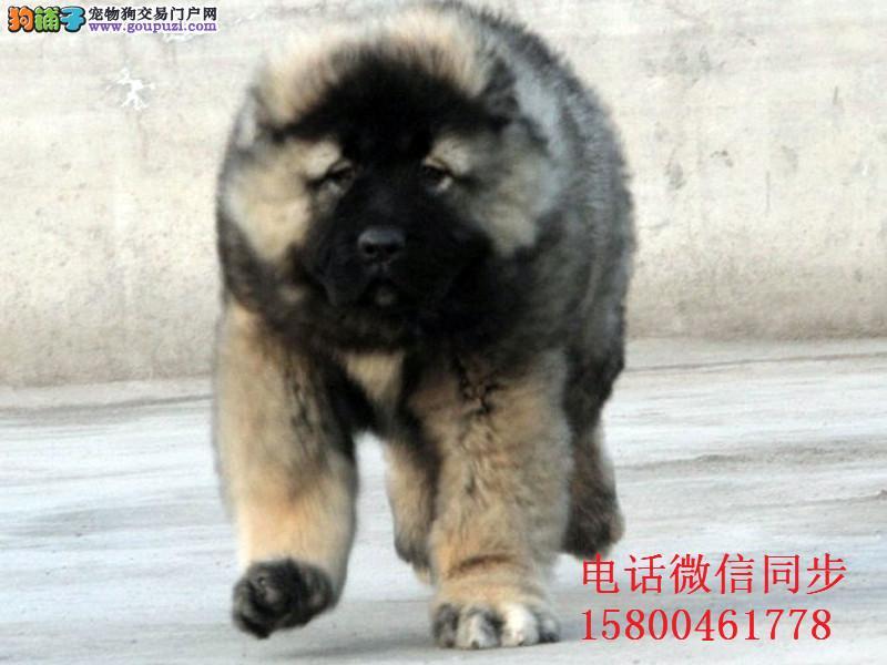 出售纯种健康熊版巨型高加索犬 打完疫苗信誉第一