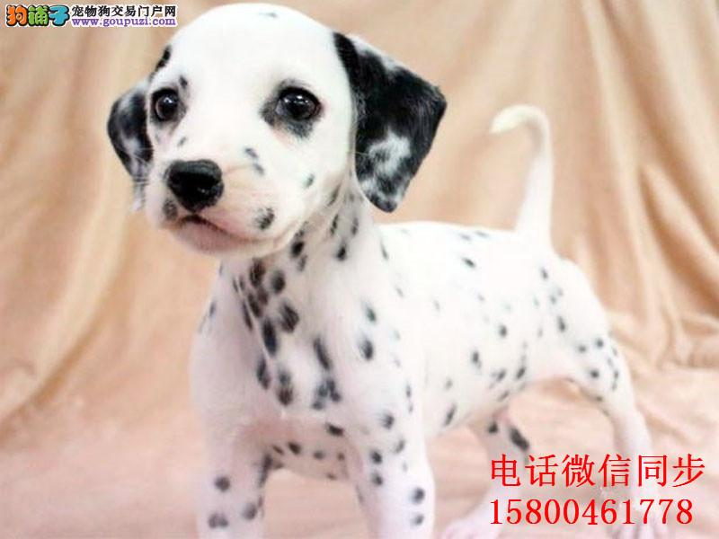 高品质斑点狗带血统出售中质量三包 可签协议