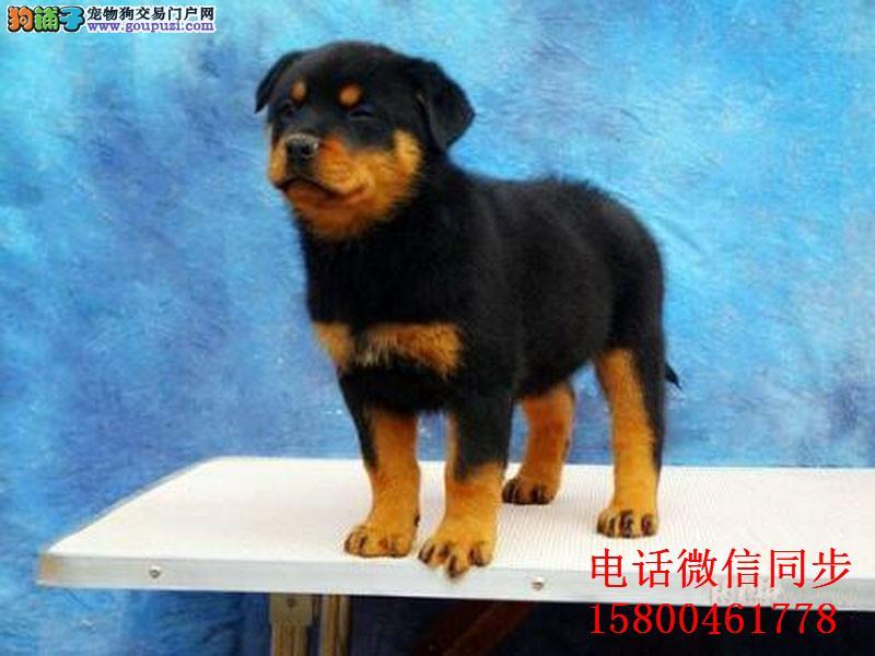 精品防暴护卫犬罗威那幼犬/狗狗纯种健康保障