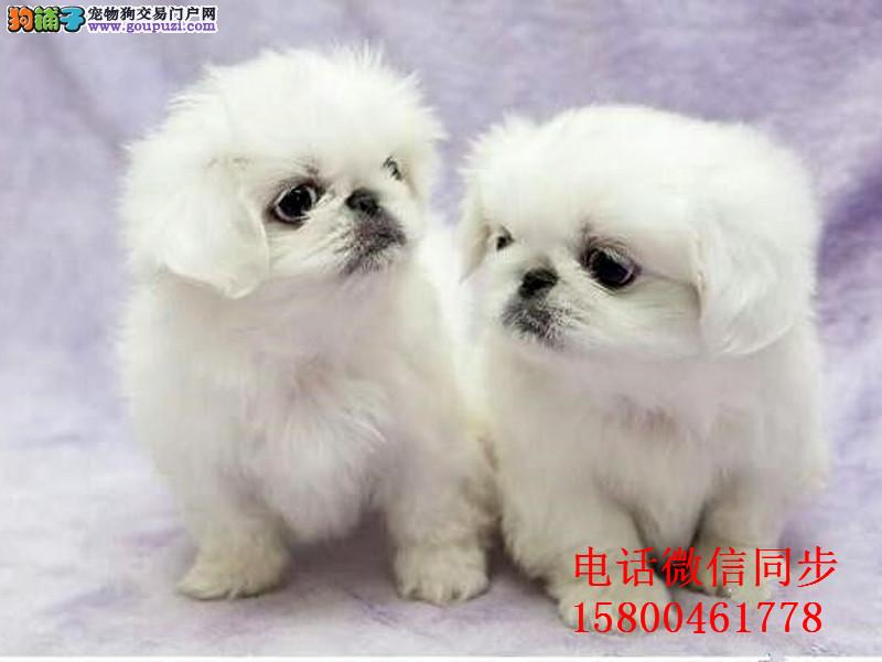 出售纯种京巴犬宝宝 公母全有 健康保证