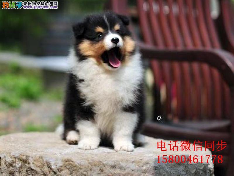 纯种喜乐蒂 可爱活泼小型犬 公母均有 保健康
