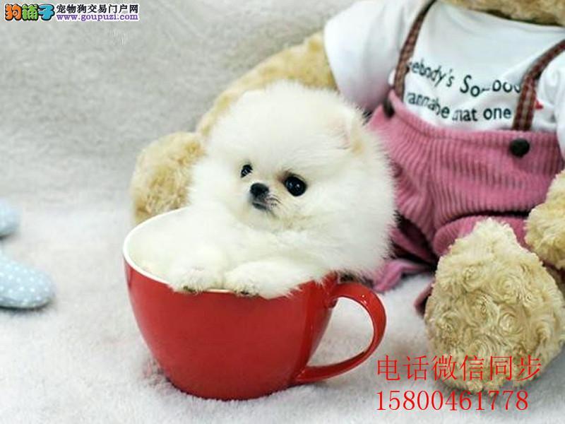 高品质俊介犬纯种博美宝宝长不大狗狗保证健康好养超萌
