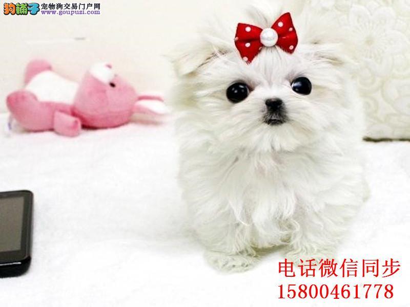 、韩国引进种犬,绝对的高大尚,精品马尔济斯