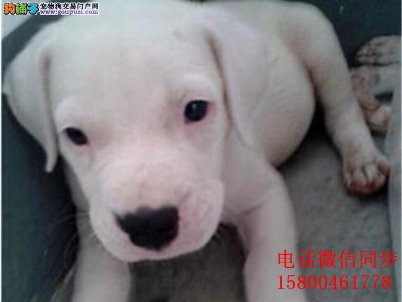 纯种杜高 杜高犬保证纯种健康 终身质保 饲养指导