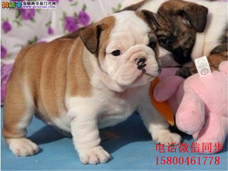 、大鼻筋英国斗牛犬出售 憨厚可爱 疫苗打好 身体健康