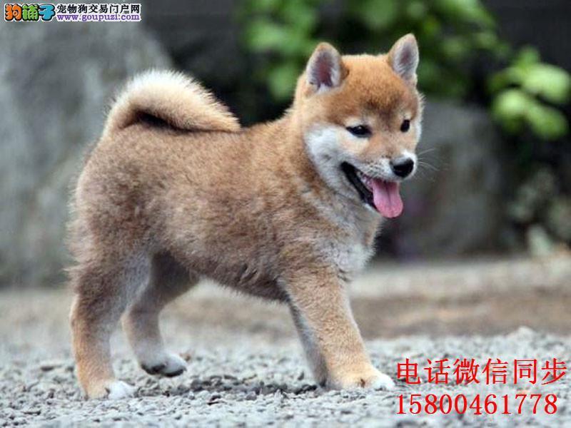 日系秋田犬美系 带证书包三年 高端伴侣犬 护卫犬