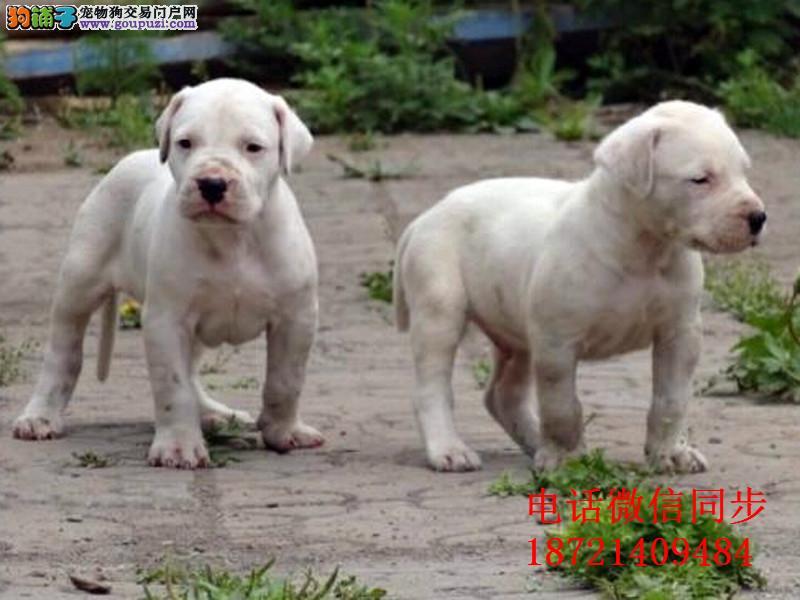 、纯种杜高 杜高犬保证纯种健康 终身质保 饲养指导