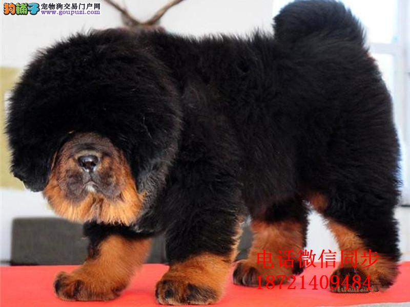 正宗铁包金藏獒幼犬是大狮子头,很大骨架藏獒犬