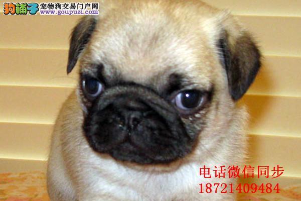 憨厚可爱的小巴哥幼犬保纯保健康 已做疫苗