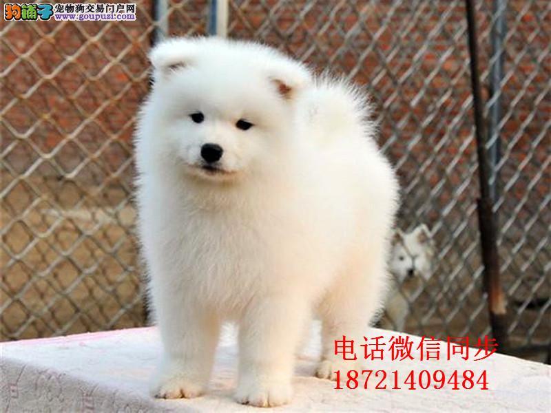、澳版微笑天使宝宝纯种健康赛级萨摩耶幼犬出售